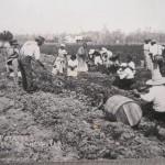 Digging potatoes near Bunnell